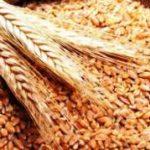 مجلس الحكومة يصادق على مشروع مرسوم بتغيير مقدار رسم الاستيراد المطبق على القمح الطري ومشتقاته